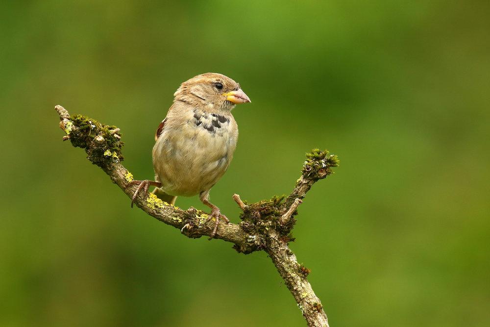 Juvi House Sparrow 23th August.jpg