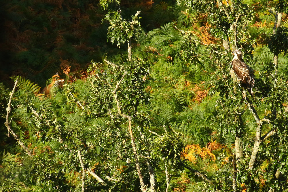 Osprey and Fox 13th September.jpg