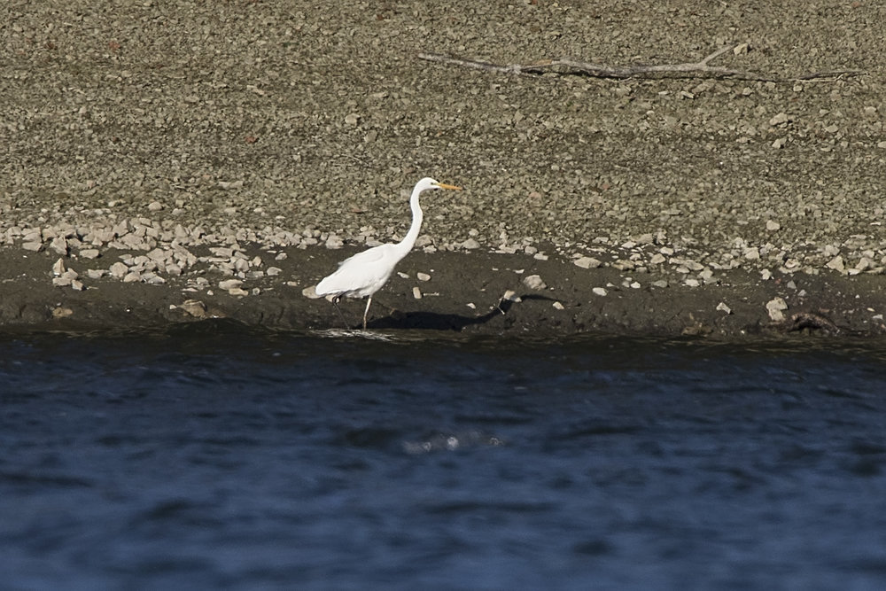 Great White Egret 27th October.jpg