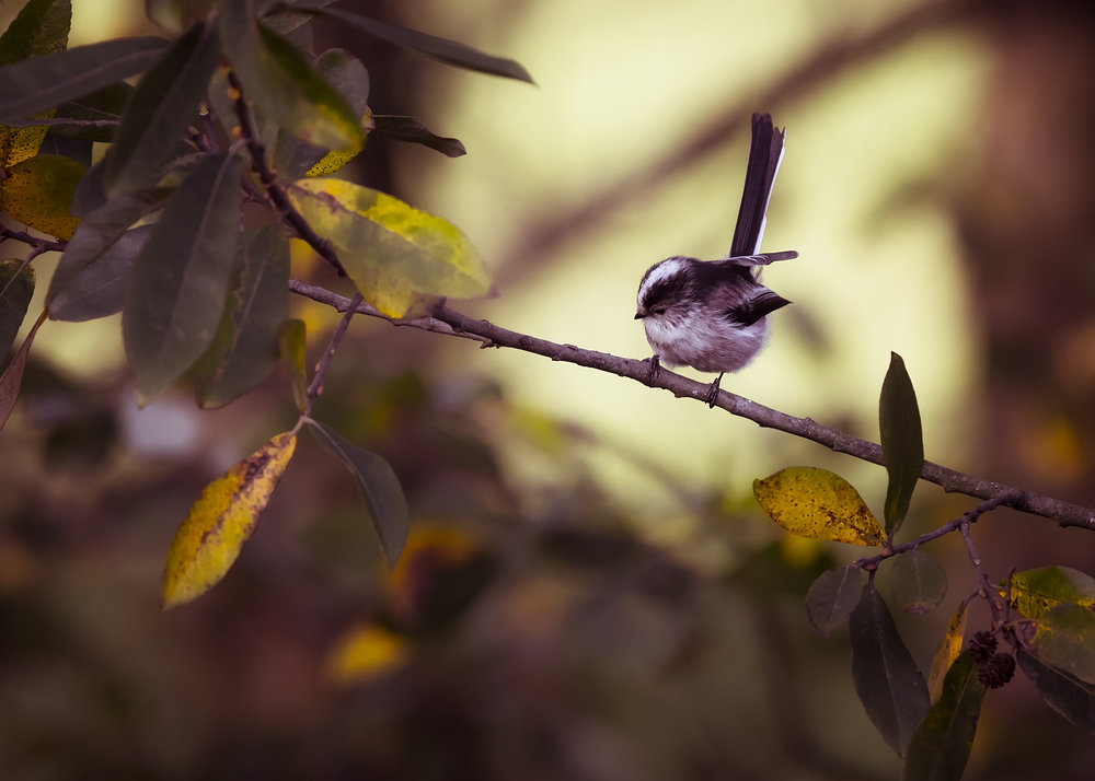 Long-tailed Tit Autumn Colours 4th November.jpg