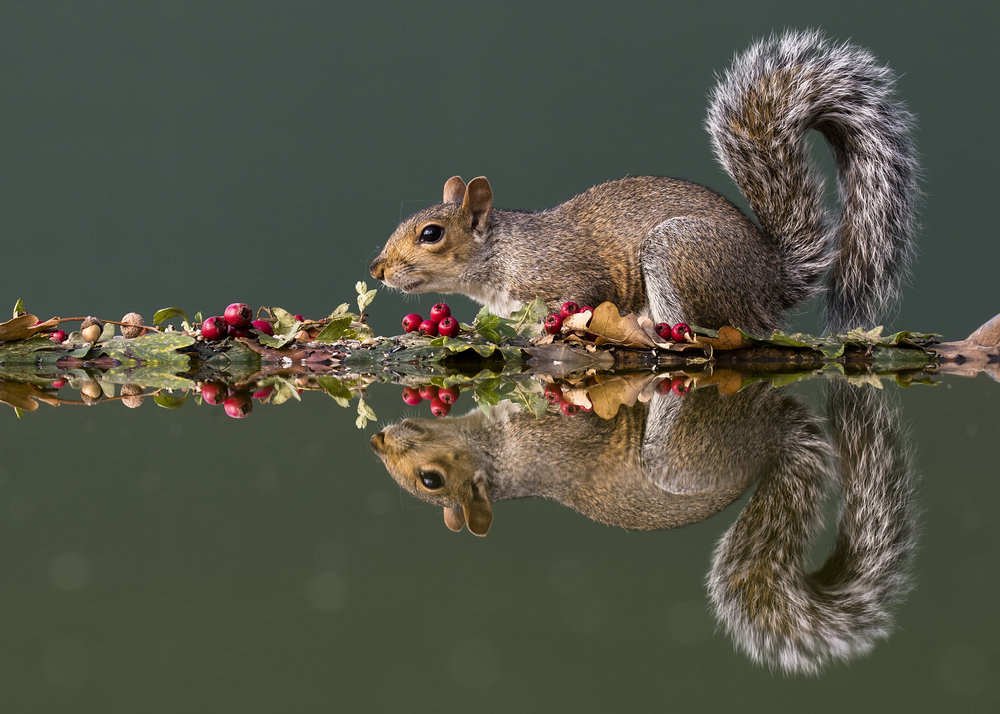 Grey Squirrell Reflection .jpg