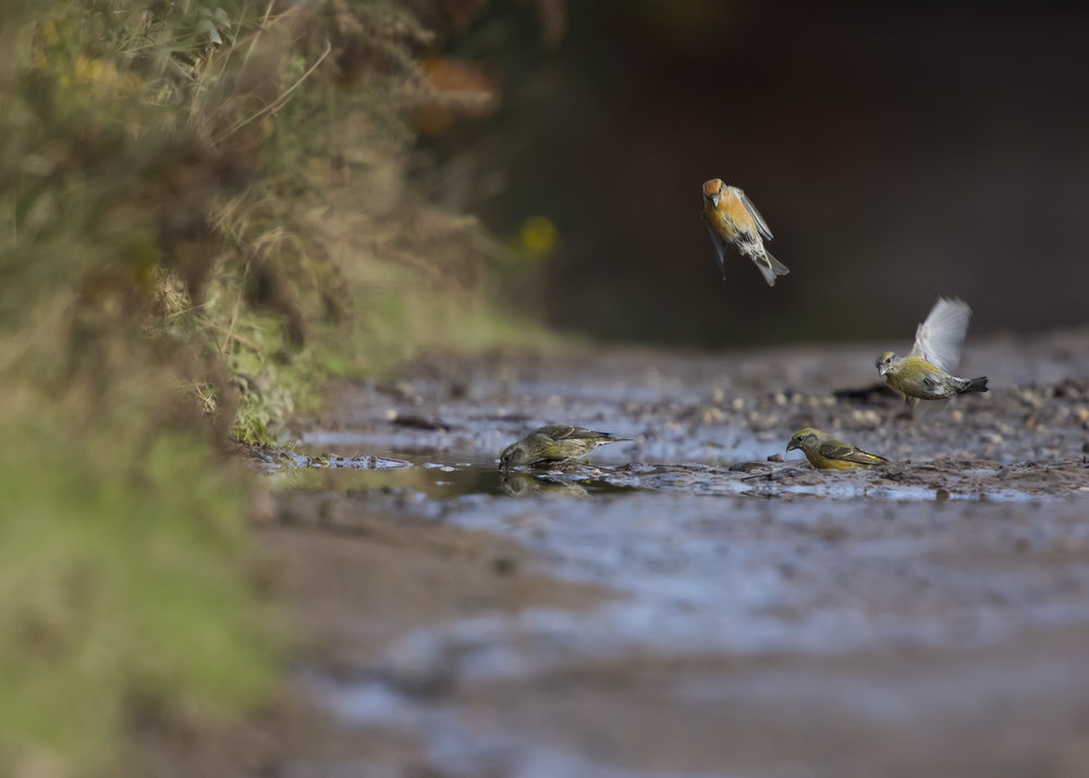 Crossbill Drinking