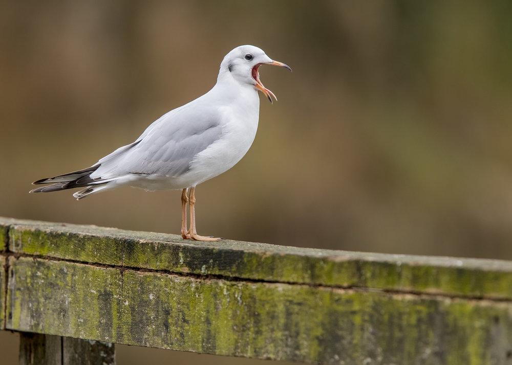 Black-headed Gull Yawn 15th November.jpg