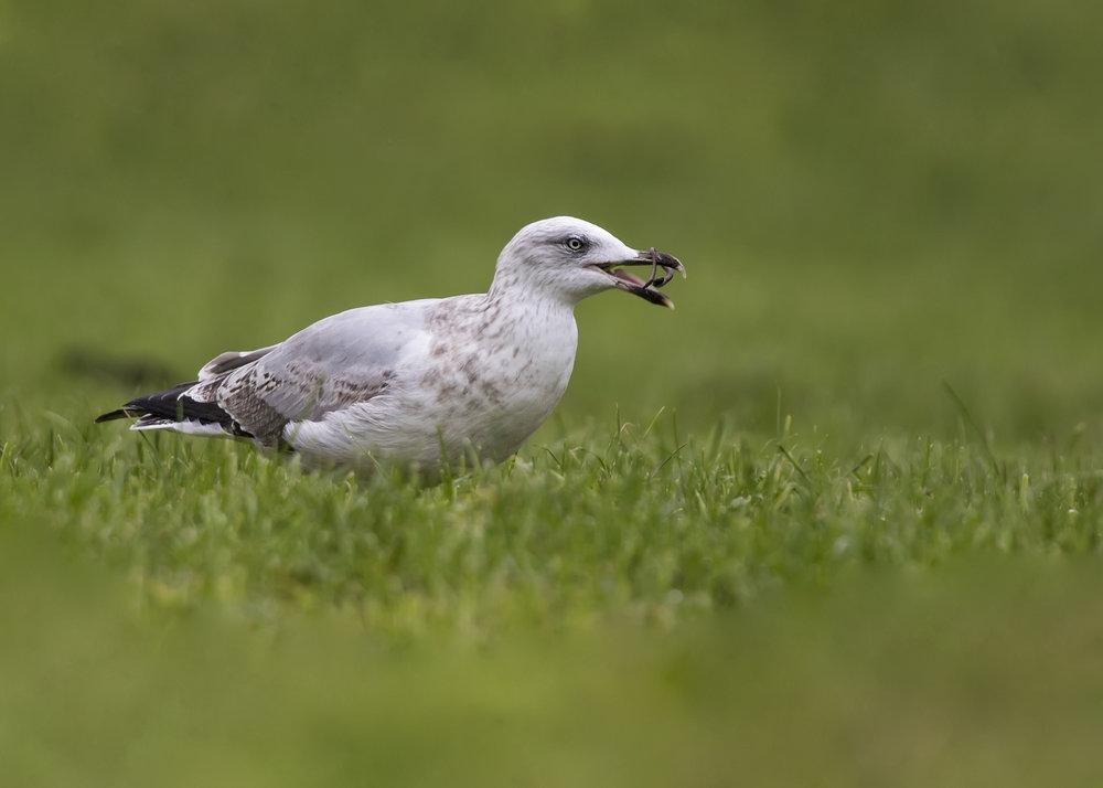 Herring gull 15th November.jpg