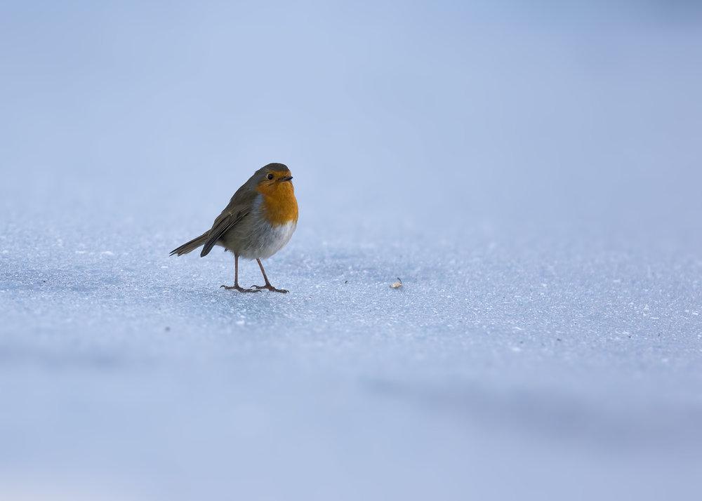 Robin on Ice 11th December.jpg