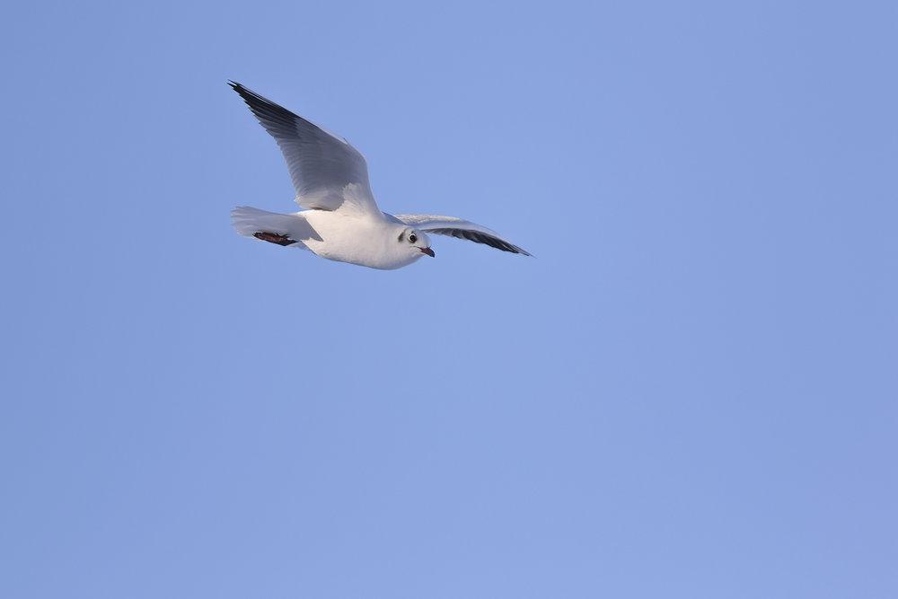 Black-headed Gull Flight 2 11th December.jpg