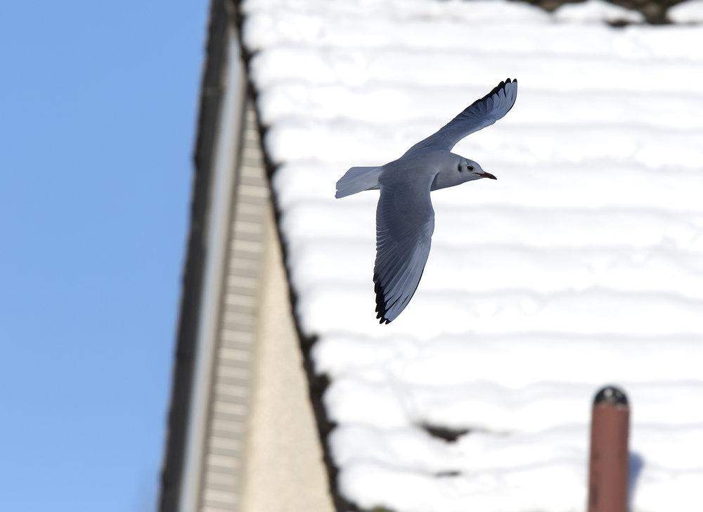 Black-headed Gull Flight 11th December.jpg