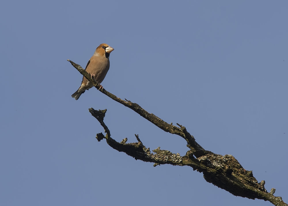 Hawfinch 2 18th December.jpg