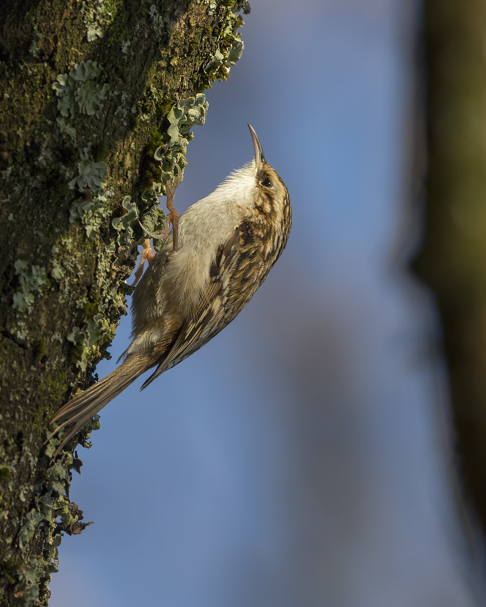 Tree Creeper W 18th December.jpg