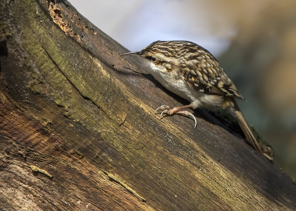 Tree Creeper Wood 18th December.jpg