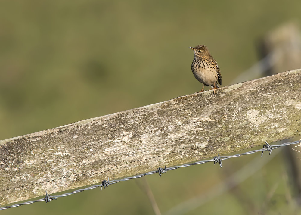 Meadow Pipit 18th Decembe.jpg