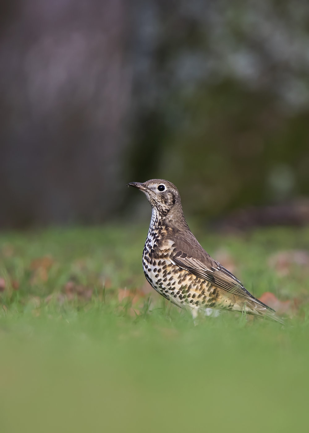Mistle Thrush Setting 15th December.jpg