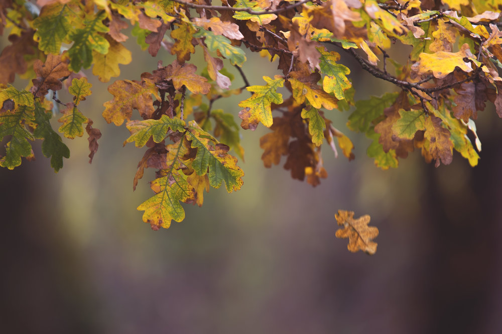 Autumn Oak Leaves Falling 15th November.jpg