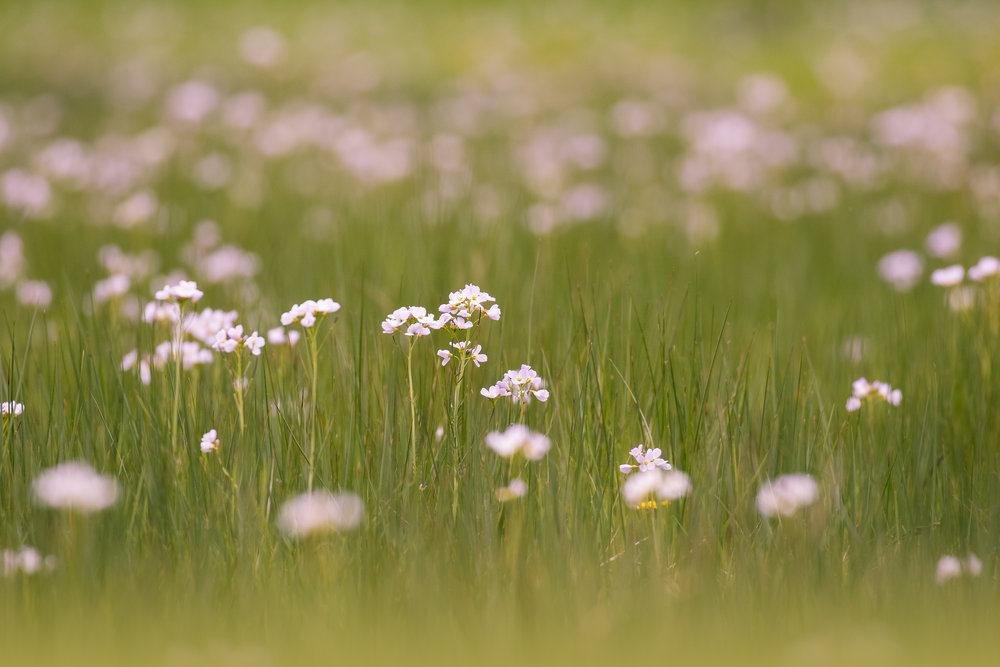 Cuckoo Flower Meadow 29th April.jpg
