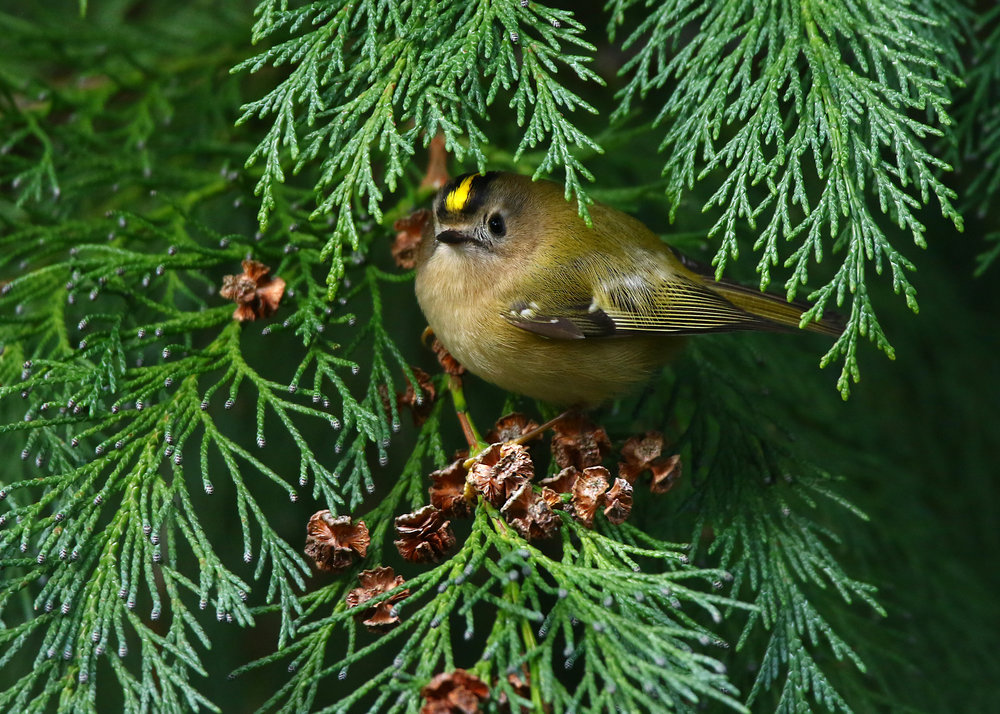 Goldcrest 1 19th December.jpg