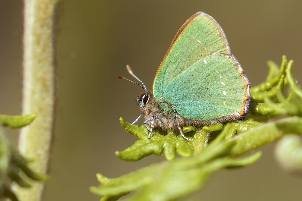 Green Hairstreak Butterfly 10th May.jpg