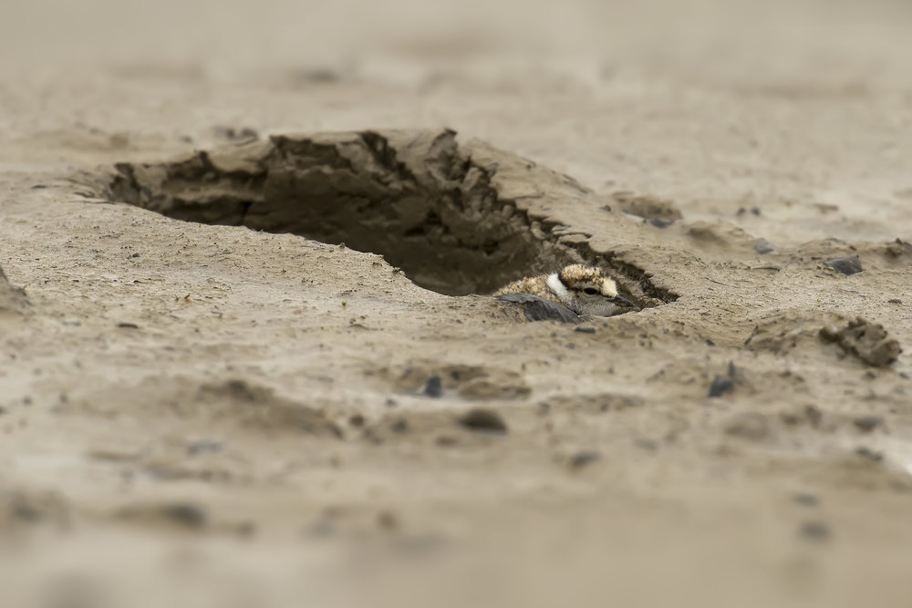 Little Ring Plover Chick in Footprint.jpg