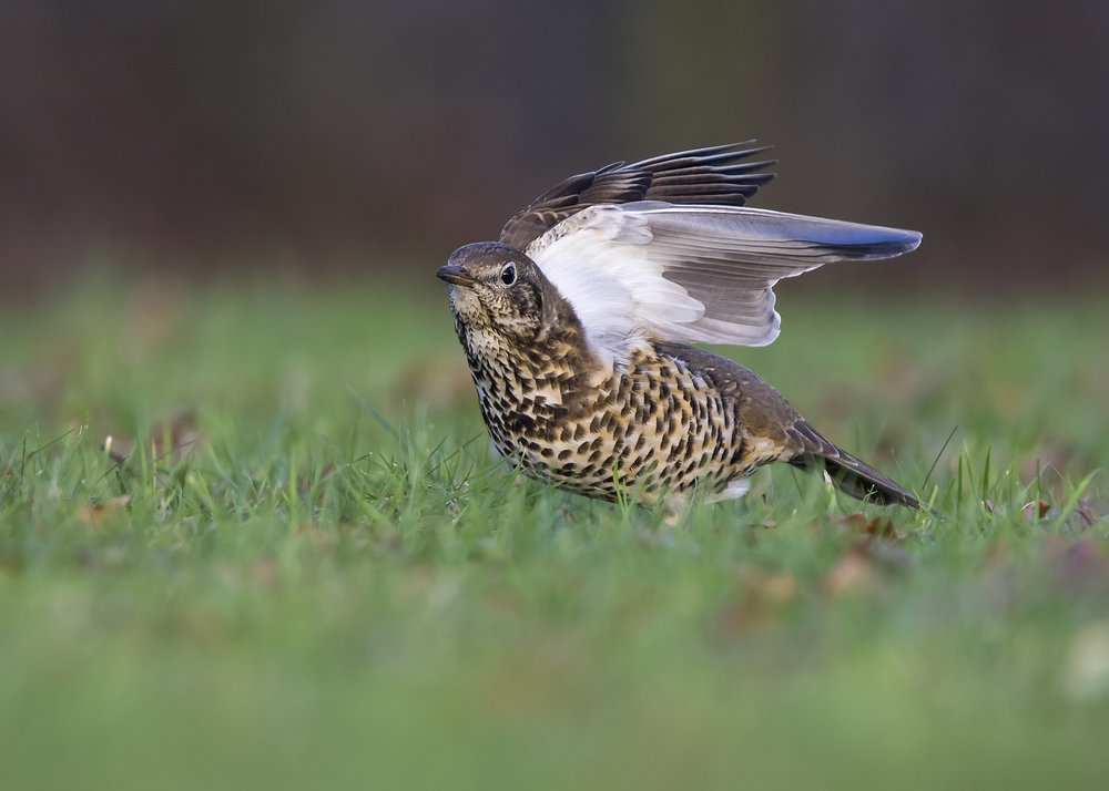 Mistle Thrush Wing Stretch 15th December.jpg