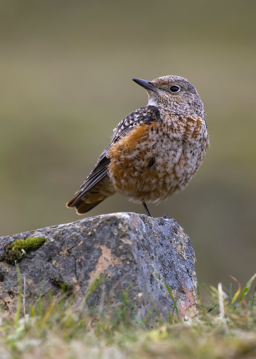 Rock Thrush on Rock 25th October.jpg