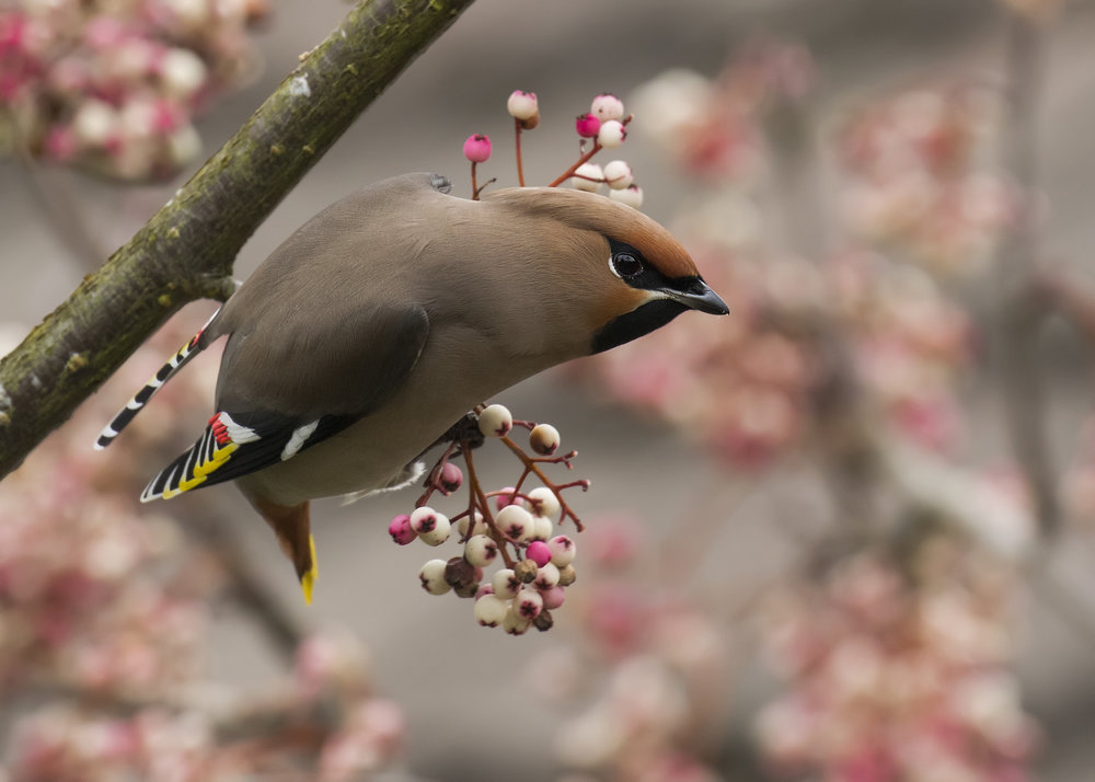 Waxwing Griff 26th January.jpg