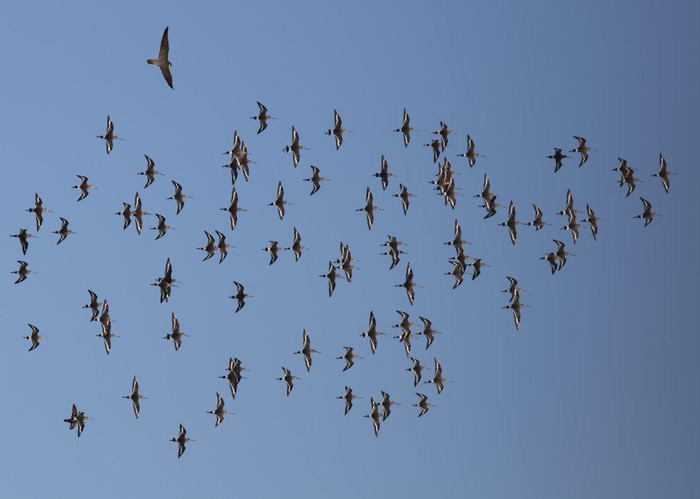 Peregrine Falcon hunting Blackwits.jpg