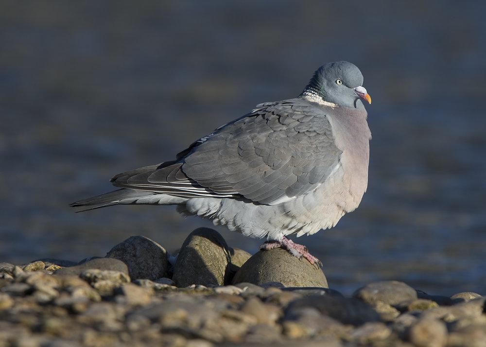 Wood Pigeon Waterside 7th January.jpg