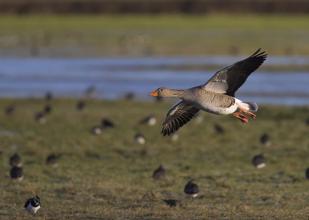 Greylag Goose Flight 7th January.jpg