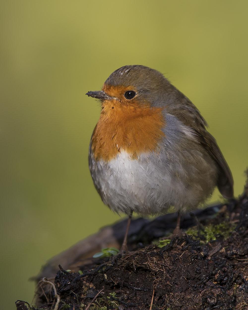 Robin 5th January.jpg
