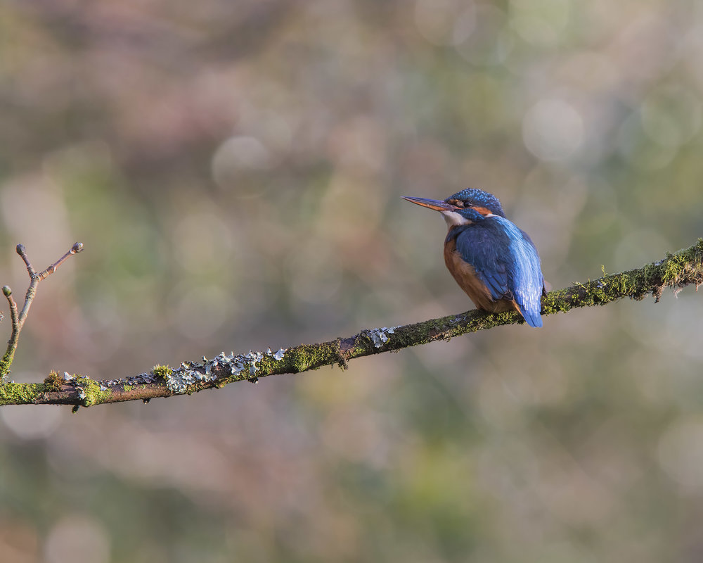 Kingfisher Bokeh 1st February.jpg