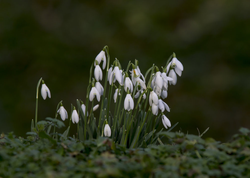Snowdrops 30th January.jpg