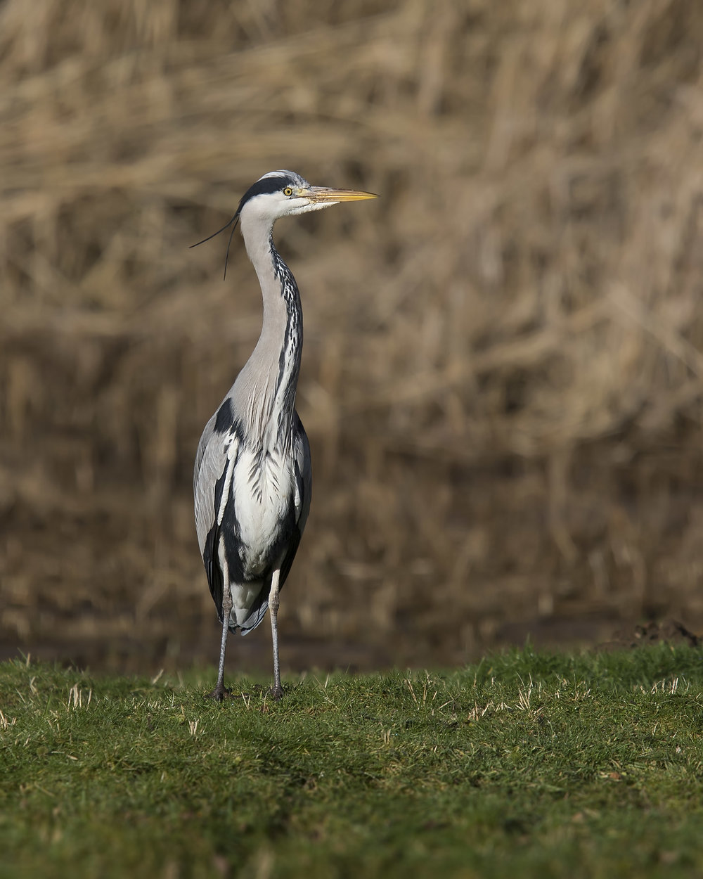 Grey Heron 26th January.jpg