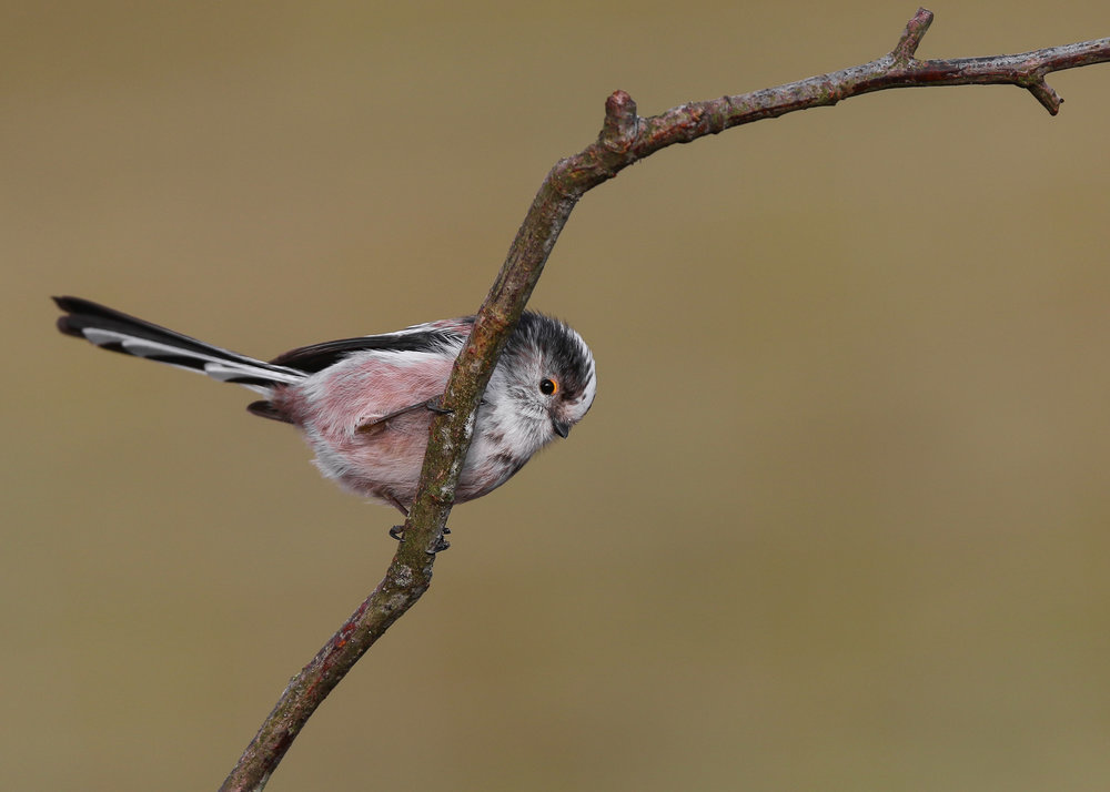 Long-tailed Tit Peeping 27th January.jpg