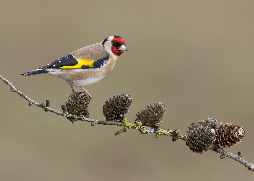 Goldfinch 28th February.jpg