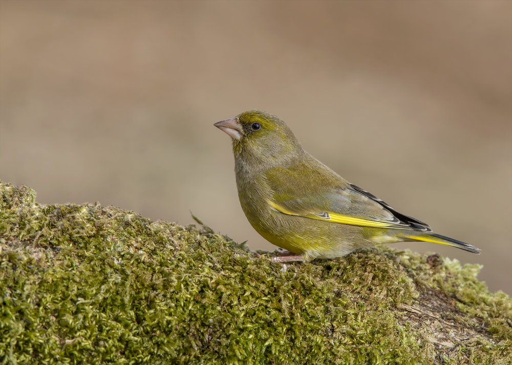 Greenfinch S 28th February.jpg