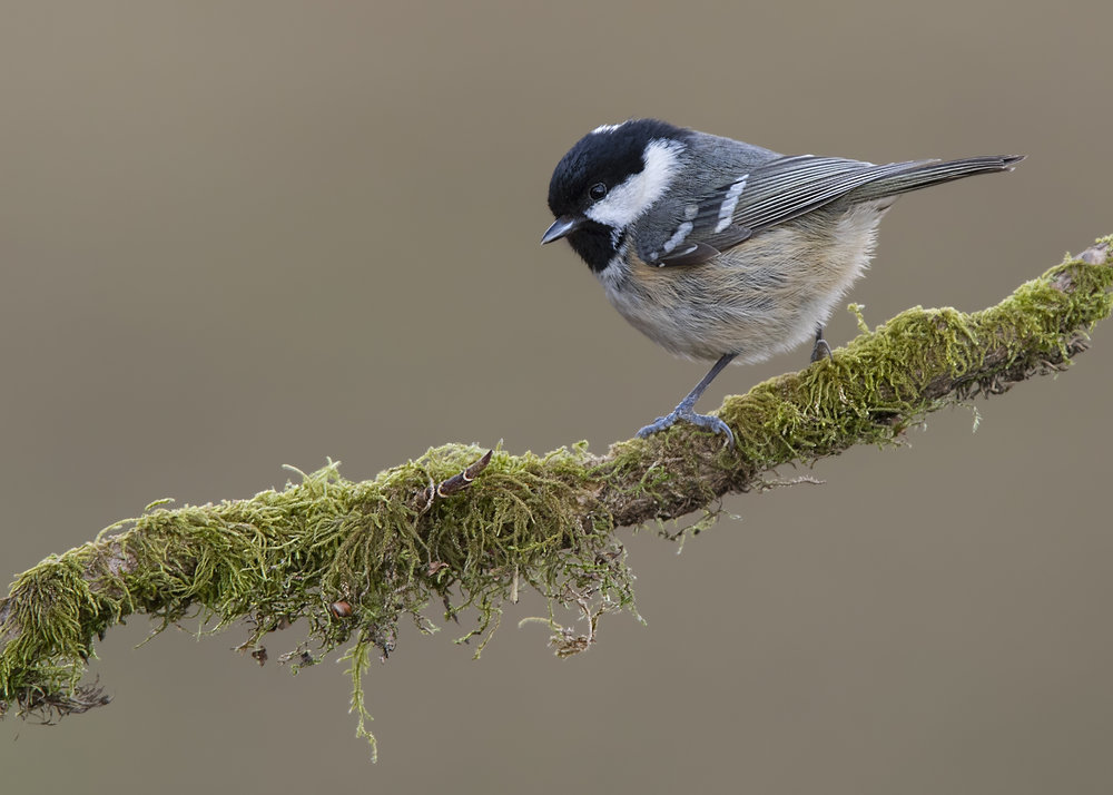 Coal Tit 28th February.jpg