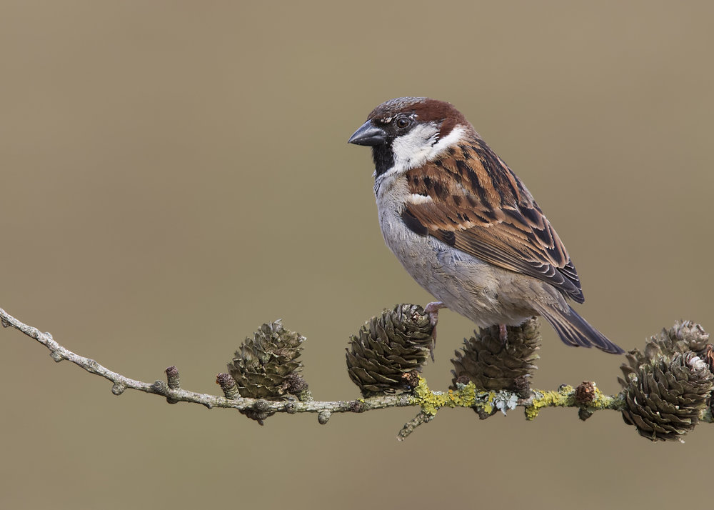 House Sparrow 28th February.jpg