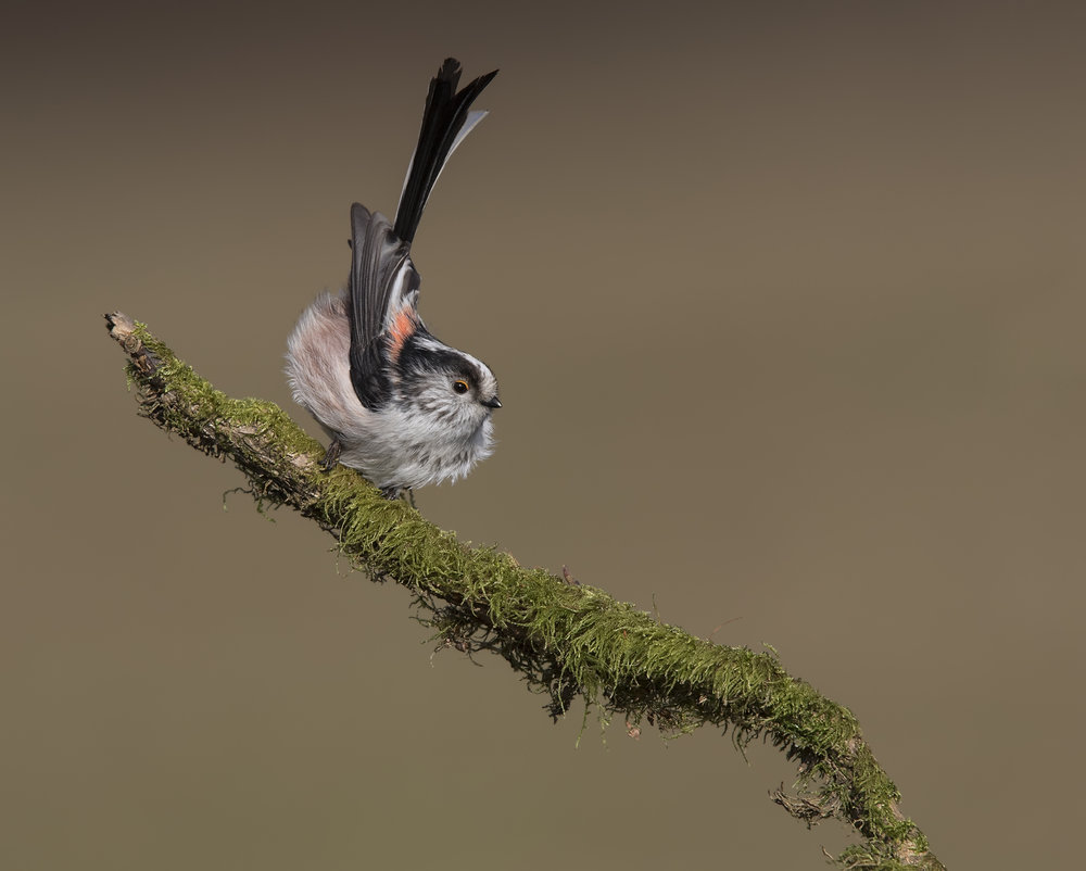 Long-tailed Tit Tail-flick 24th February.jpg