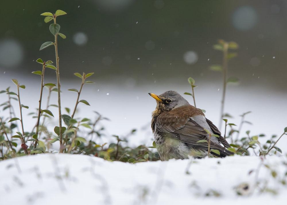 Fieldfare Snow