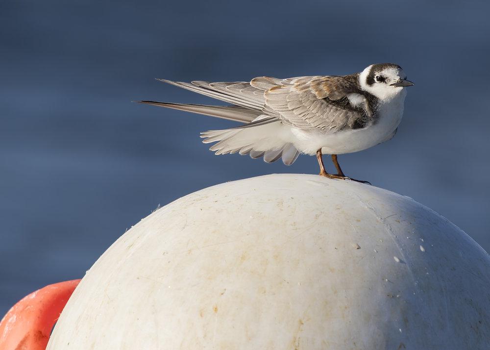 Black Tern 27th October 17.jpg