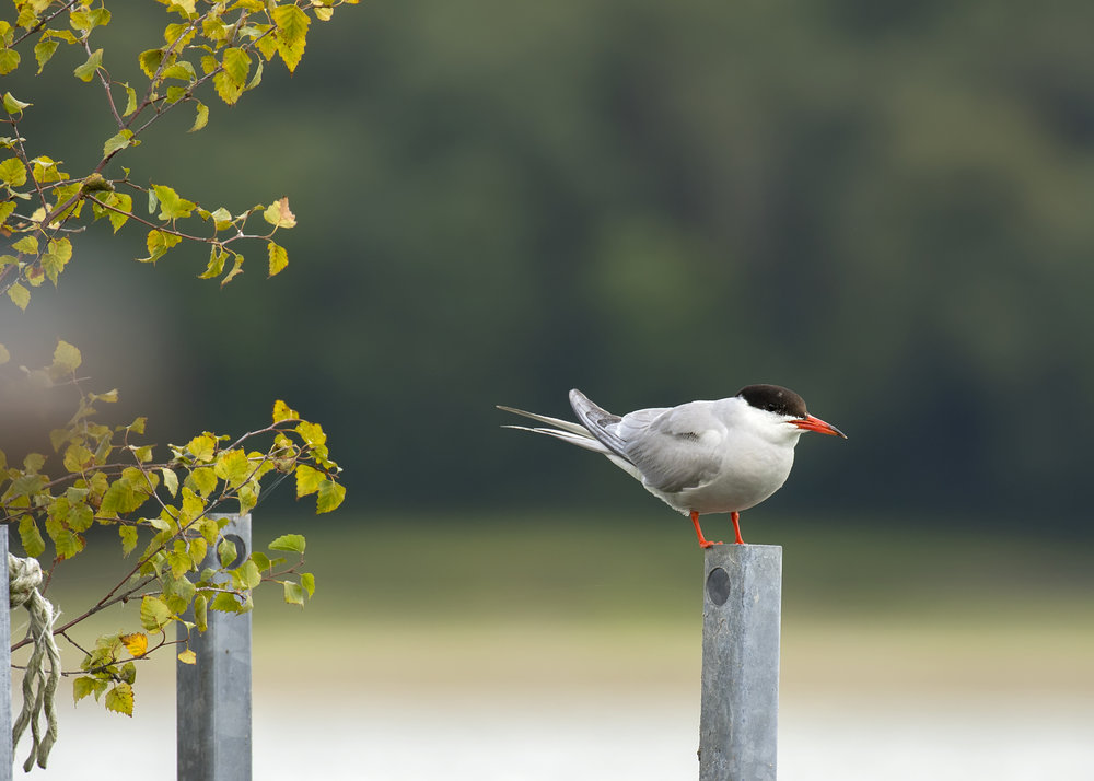 Common Tern 30th July 17.jpg