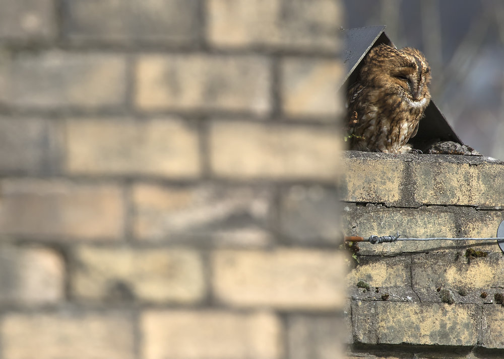 Urban Tawny Owl 6th April.jpg