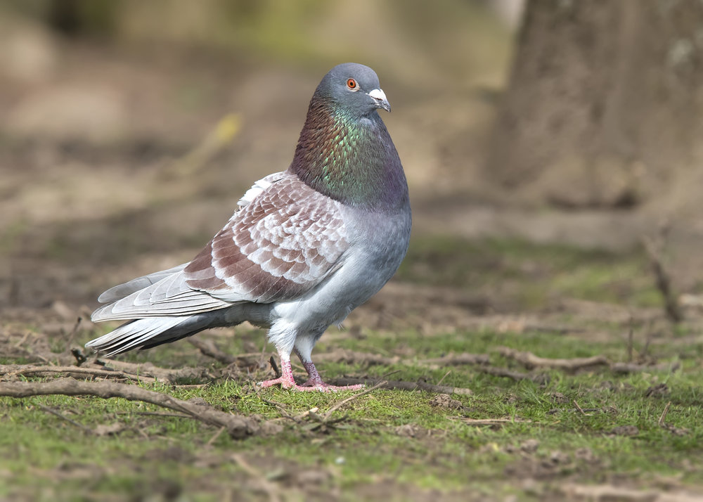 Feral Dove 5th April.jpg
