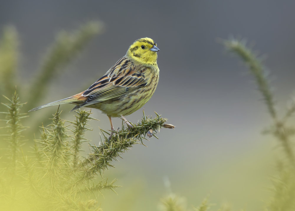Yellowhammer c 1st April.jpg