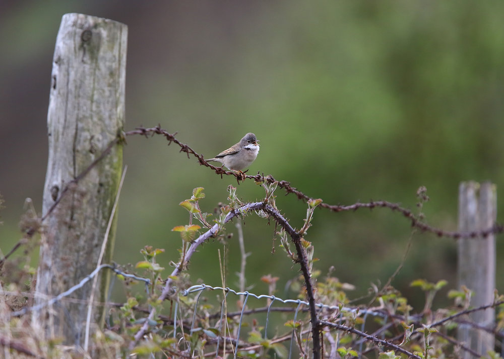 Whitethroat Barbwire 28th April.jpg