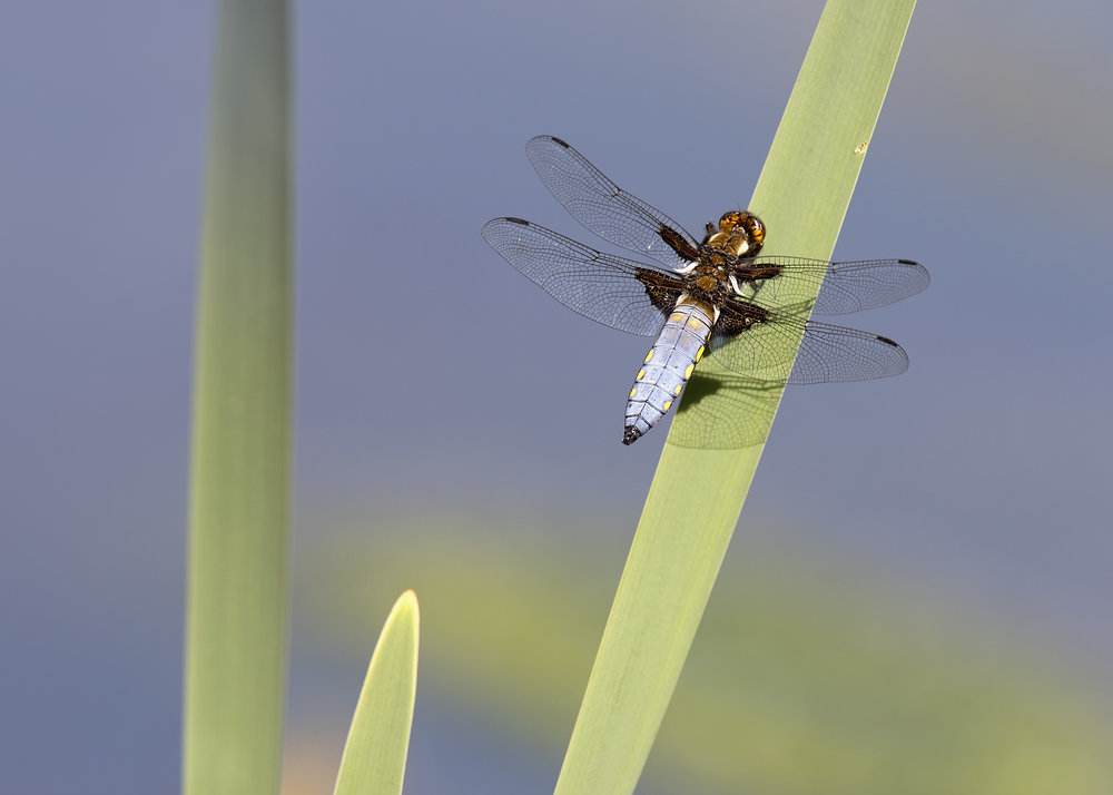 Male Broad-bodied Chaser 20th May.jpg