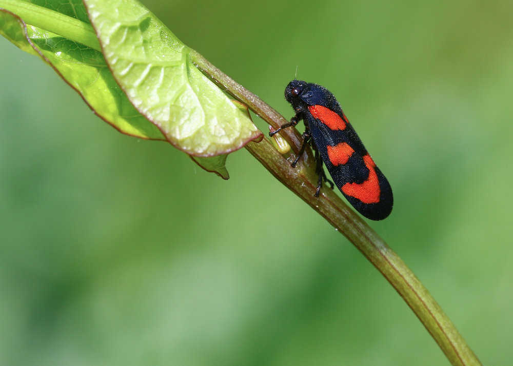 Red and Black Froghopper.jpg