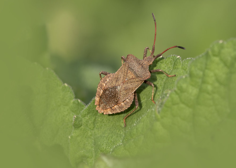 Dock Shieldbug 16th May.jpg