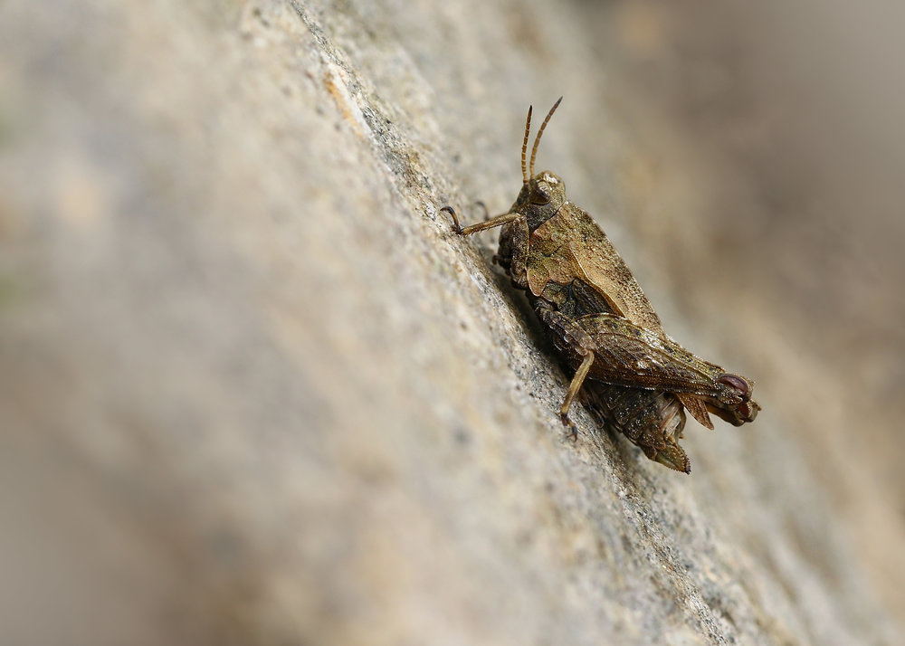 Common Groundhopper 16th May.jpg