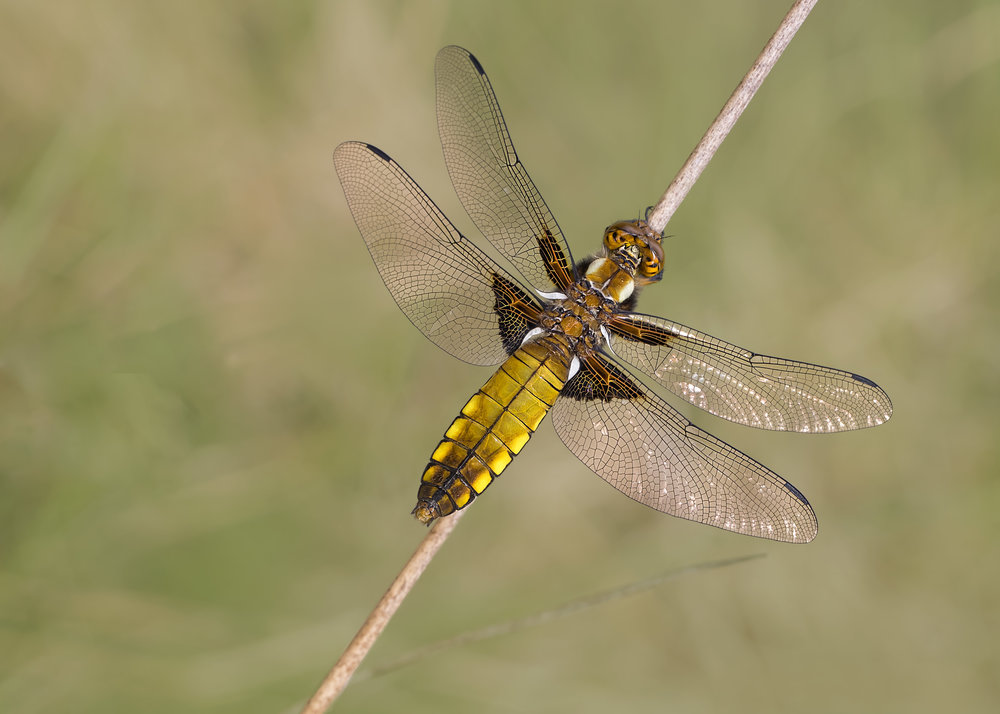 Broad-bodied Chaser 14th May.jpg