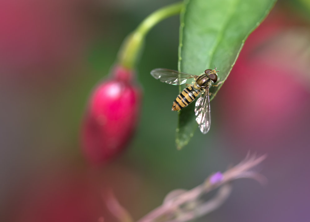 Marmalade Hoverfly C 21st July .jpg